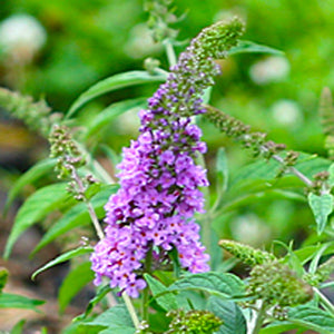 Closeup of a single purple flower spike of Lo and Behold Lilac Chip butterfly bush