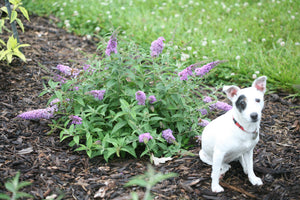 A cute Jack Russell dog sits next to dwarf Lo and Behold Lilac Chip butterfly bush