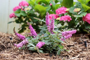 Buddleia Lo & Behold® 'Pink Micro Chip' - Butterfly Bush