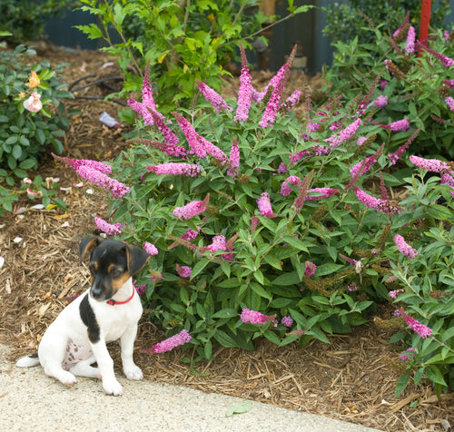 Buddleia Lo & Behold Pink Micro Chip next to a walkway with a small dog