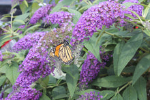 Load image into Gallery viewer, Buddleia Lo & Behold® 'Purple Haze' - Butterfly Bush