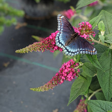 Load image into Gallery viewer, Lo & Behold Ruby Chip™ Butterfly Bush