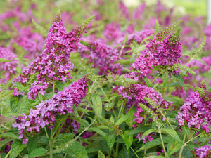 Buddleia Lo & Behold Ruby Chip - Butterfly Bush