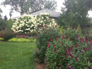 Three Miss Molly butterfly bushes blooming next to green grass in a landscape.