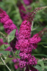 A closeup of the dense, bright pink-red flower spikes of Miss Molly butterfly bush