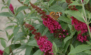 A common buckeye butterfly on Miss Molly buddleia