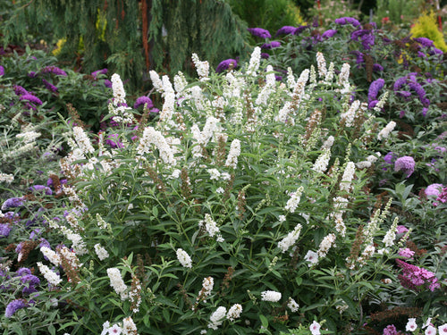 Buddleia Miss Pearl has crisp white flowers