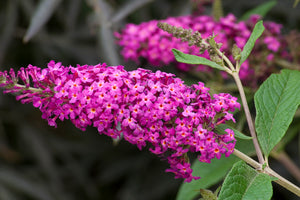 Buddleia 'Miss Ruby' - Butterfly Bush