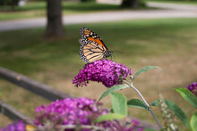 Load image into Gallery viewer, 'Miss Ruby' Butterfly Bush