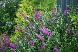 Buddleia 'Miss Violet' - Butterfly Bush