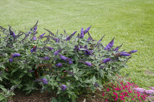 Pugster Blue® Butterfly Bush