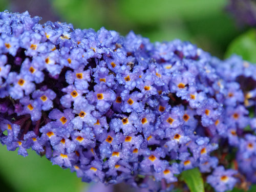 Buddleia Pugster Blue has blue flowers with a yellow center