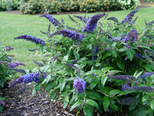 Load image into Gallery viewer, Pugster Blue® Butterfly Bush