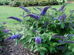 Buddleia Pugster Blue attracts adult butterflies and hummingbird moths
