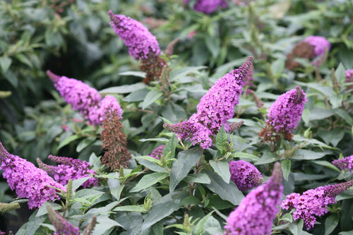 Buddleia Pugster Periwinkle has soft dusky violet blooms