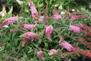 Pugster Pink butterfly bush blooming in the landscape with several flowers