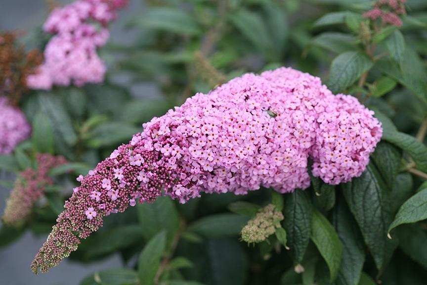 The very large, robust, pink flowers of Pugster Pink butterfly bush