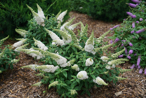 Buddleia Pugster White has crisp white blooms that pop when the sun sets