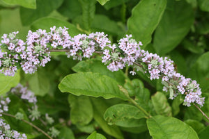 Buddleia alternifolia 'Argentea' - Silver Spring Fountain Butterfly Bush