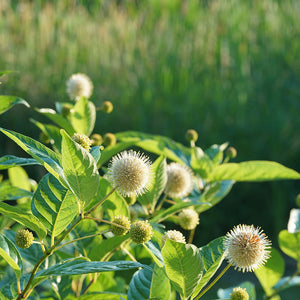 Many spherical white flowers on Sugar Shack buttonbush