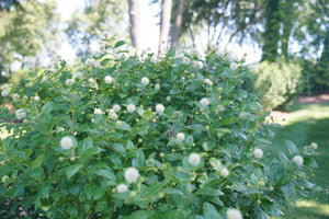 A specimen of Sugar Shack buttonbush in bloom in a landscape