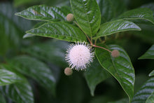Load image into Gallery viewer, closeup of the unique, fragrant white flowers of Sugar Shack cephalanthus