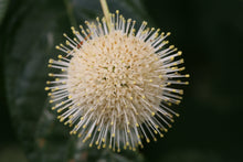 Load image into Gallery viewer, Closeup of the white flower sphere of Sugar Shack buttonbush