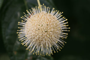 Closeup of the white flower sphere of Sugar Shack buttonbush