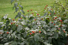 Load image into Gallery viewer, The red fruit of Sugar Shack buttonbush