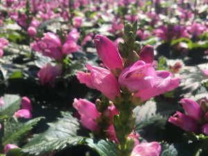 Chelone Hot Lips has bright pink flowers that attract hummingbirds and other pollinators