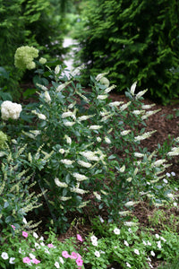 Clethra Sugartina®'Crystalina' - Summersweet