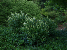 Load image into Gallery viewer, Clethra Sugartina®'Crystalina' - Summersweet