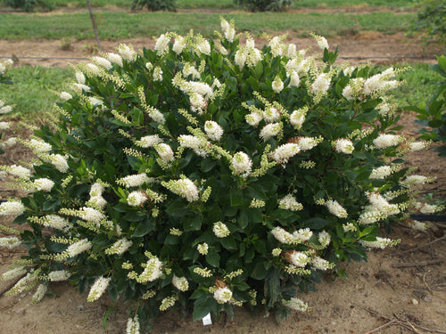 Clethra Sugartina Crystalina has white flowers with a delicious scent