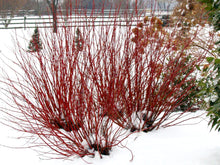Load image into Gallery viewer, Three Arctic Fire Red dogwood shrubs in a winter landscaping showing their bright red stems