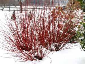 Three Arctic Fire Red dogwood shrubs in a winter landscaping showing their bright red stems