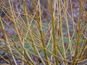 Cornus Arctic Fire® Yellow - Red-Twig dogwood