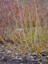 Load image into Gallery viewer, Cornus Arctic Fire® Yellow - Red-Twig dogwood