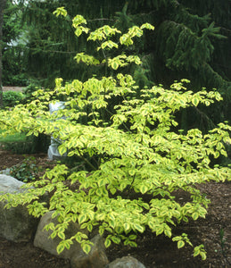 A young specimen of variegated Golden Shadows dogwood tree in a landscape
