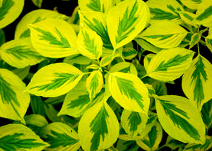 Cornus Golden Shadows® - Pagoda Dogwood