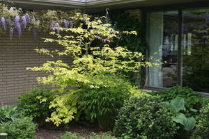 A single Golden Shadows pagoda dogwood tree planted near a house with a blooming wisteria in the background