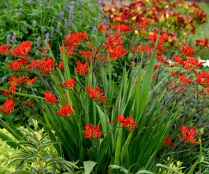 Lucifer crocosmia planted with Blue Fortune agastache