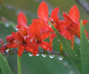 Closeup of the red flowers of Lucifer crocosmia