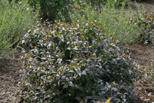 Load image into Gallery viewer, a specimen of Kodiak Black diervilla in a landscape.