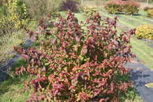 Load image into Gallery viewer, Kodiak Black diervilla in autumn, showing its red seed heads and red fall color on its foliage.