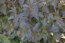 Load image into Gallery viewer, The purple-black foliage of Kodiak Black diervilla, showing its neat opposite arrangement