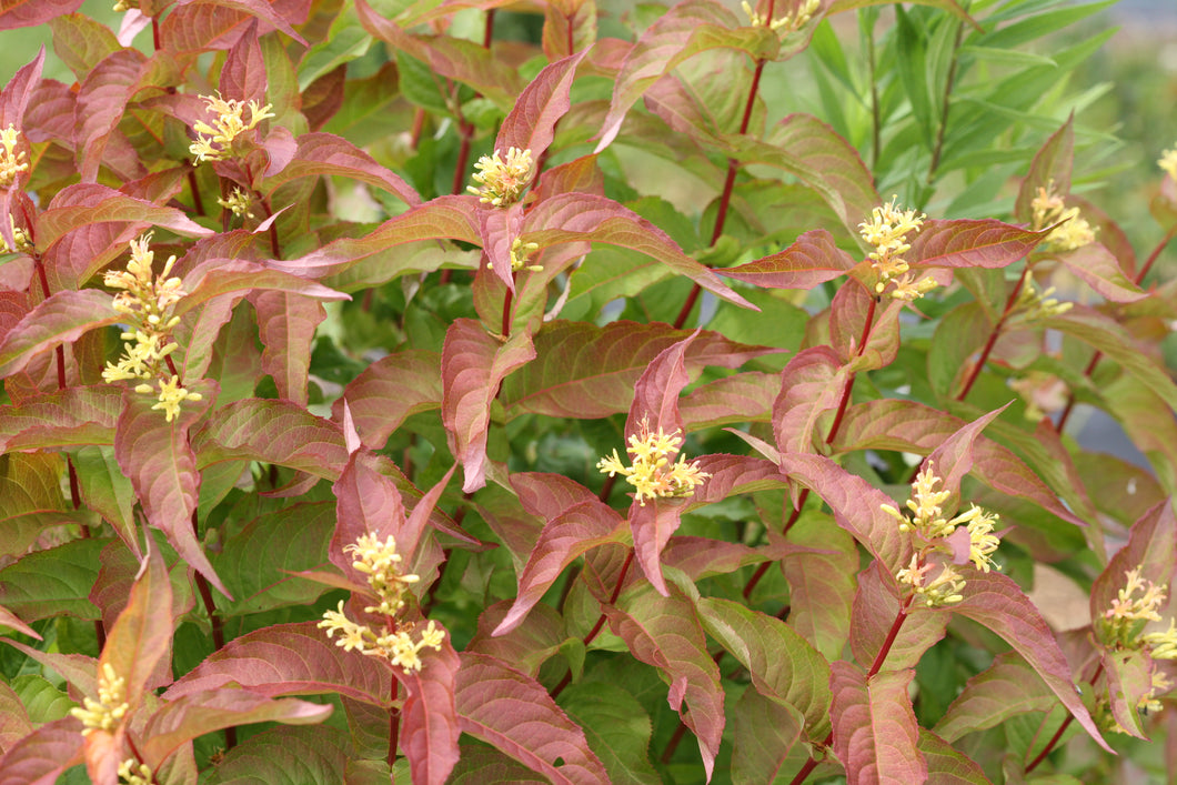 The stems of Kodiak Orange diervilla laden with bright orange leaves and yellow flowers.