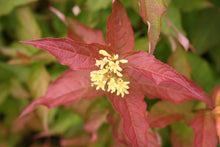 Load image into Gallery viewer, Closeup of the end of a branch of Kodiak Orange diervilla showing its bright foliage and yellow flowers