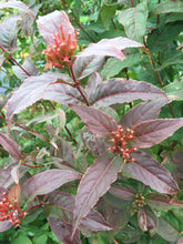 Load image into Gallery viewer, Kodiak Red diervilla turning red in autumn with red seed heads.
