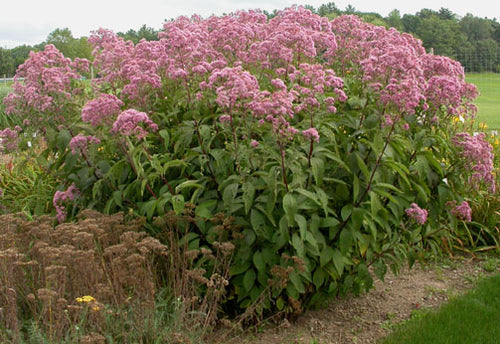 Gateway Joe Pye weed is a very large Joe Pye weed with big pink flowers that attract butterflies