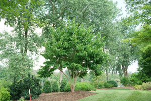 Heptacodium Temple of Bloom grows to a small tree size and is ideal for smaller yards
